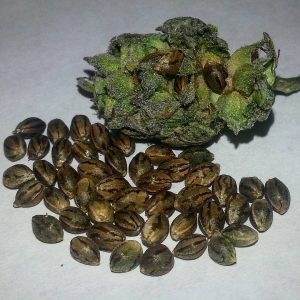 NYC Diesel feminized seeds